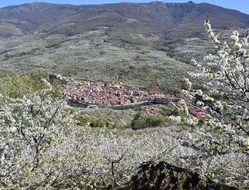 Cerezo en flor 2020 Valle del Jerte