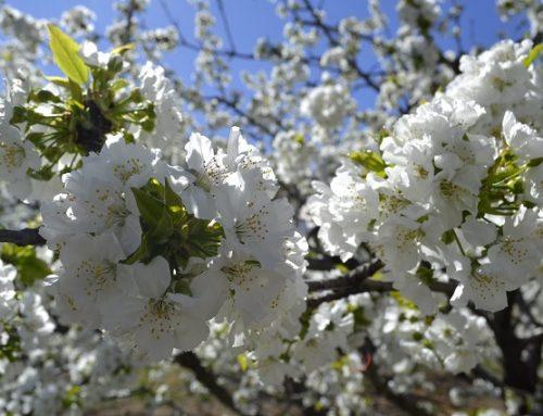 El 19 de Marzo comenzará el programa del Cerezo en Flor